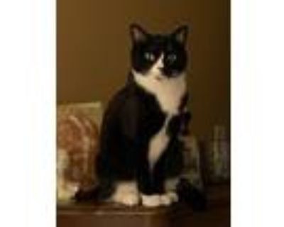 Adopt August a Black & White or Tuxedo Domestic Shorthair / Mixed (short coat)