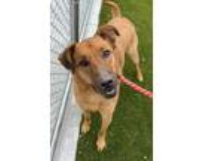 Adopt Charlie a Brown/Chocolate Shepherd (Unknown Type) / Mixed dog in