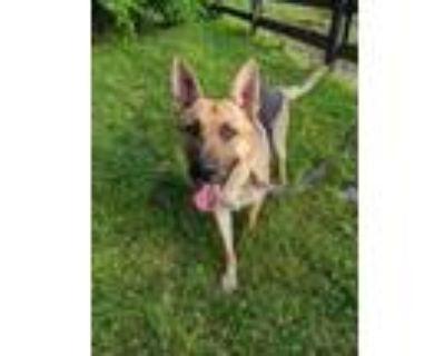 Adopt Bobbie a German Shepherd Dog