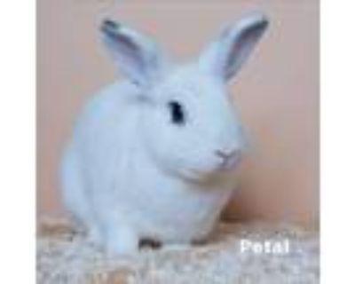 Adopt Petal a White Dwarf Hotot / Mixed (short coat) rabbit in Culver City