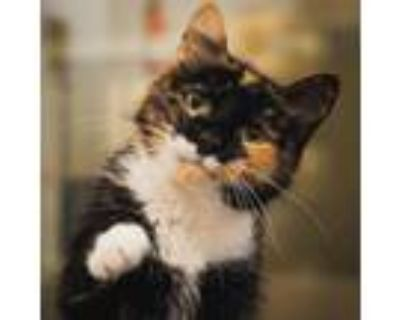 Adopt Ms. Kitty Doughnut a Domestic Short Hair
