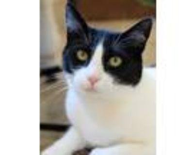 Adopt Bandit a Black & White or Tuxedo Domestic Shorthair / Mixed (short coat)