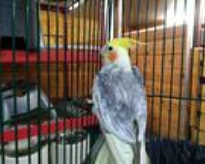 Adopt CARTER a Gray Cockatiel / Mixed bird in Palmer, AK (32112958)