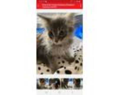Adopt Peanut and Mr a Gray or Blue Maine Coon / Mixed (long coat) cat in Buena