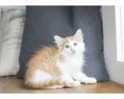 Adopt Matisse a White (Mostly) Domestic Longhair (long coat) cat in Dayton