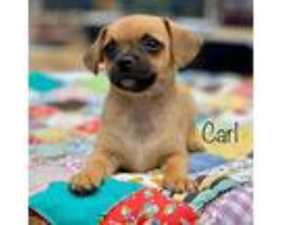 Carl, Terrier (unknown Type, Small) For Adoption In Boulder, Colorado