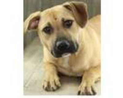 Adopt Cashmere a Tan/Yellow/Fawn American Pit Bull Terrier / Mixed dog in