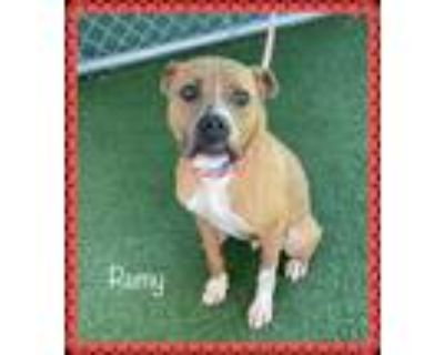 Adopt REMY (see also DAISY) a Brown/Chocolate - with White Boxer / Mixed dog in