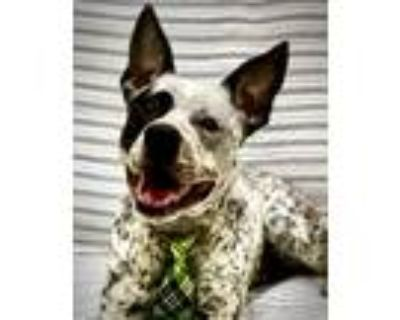 Adopt ASHER a Australian Cattle Dog / Blue Heeler
