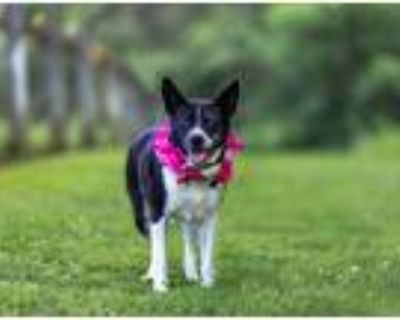 Adopt Liberty a Black - with White Border Collie / Mixed dog in Unionville