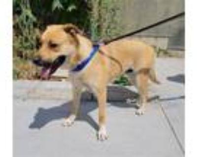 Adopt TIGER a German Shepherd Dog, Rottweiler