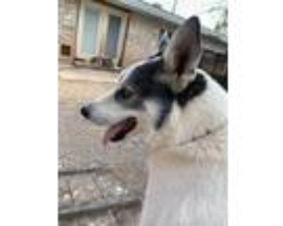 Adopt Echo a White - with Black Siberian Husky / Border Collie / Mixed dog in