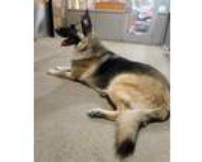 Adopt Knuckles a Black German Shepherd Dog / Mixed dog in Fort Worth