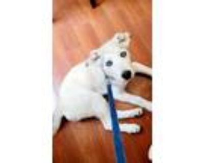 Adopt Simba a Tan/Yellow/Fawn - with Black Husky / Maremma Sheepdog / Mixed dog