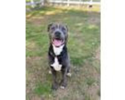 Adopt ZUMA a Gray/Silver/Salt & Pepper - with White American Pit Bull Terrier /