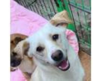 Adopt Nelson IN LA!!! a White - with Tan, Yellow or Fawn Jindo / Spitz (Unknown