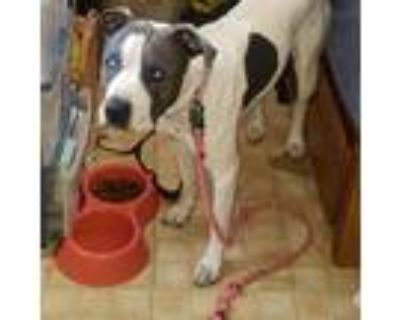 Adopt Nova a White - with Gray or Silver American Pit Bull Terrier / Mixed dog