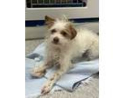 Adopt Daisy a White Terrier (Unknown Type, Small) / Poodle (Miniature) / Mixed