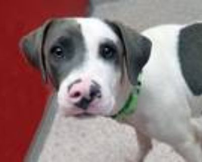 Adopt GEORGE* a Pit Bull Terrier