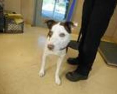 Adopt a White - with Brown or Chocolate Border Collie / Mixed dog in San Jose