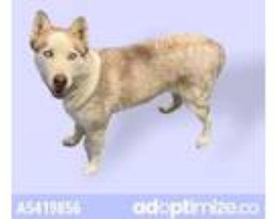 Adopt REGAN a Siberian Husky
