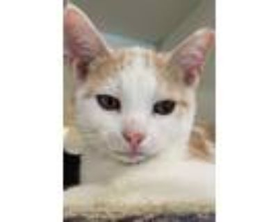 Frodo, Domestic Shorthair For Adoption In Columbus, Indiana