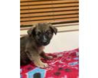 Adopt Blakely a Brown/Chocolate - with Black German Shepherd Dog / Mixed dog in