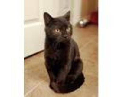 Coal, Domestic Mediumhair For Adoption In Claremore, Oklahoma