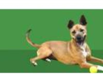 Adopt LEXI a Boxer, German Shepherd Dog