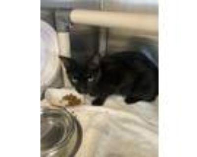 Adopt SHARKEY a Black & White or Tuxedo Domestic Shorthair / Mixed (short coat)