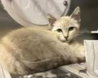 Adopt SAM a Cream or Ivory (Mostly) Siamese / Mixed (short coat) cat in Los