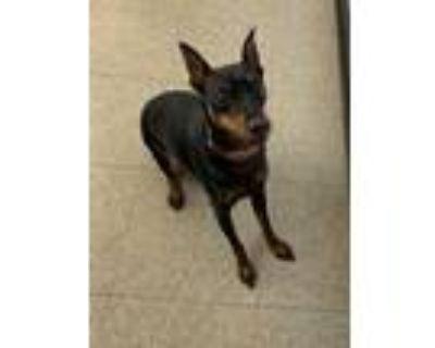 Adopt Bradley a Black Miniature Pinscher / Mixed dog in Niagara Falls