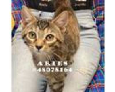 Adopt Aries a All Black Domestic Shorthair / Domestic Shorthair / Mixed cat in