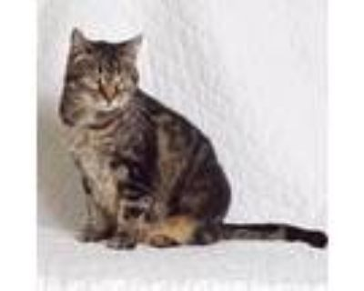 Adopt Hayley a Brown or Chocolate Domestic Shorthair / Mixed cat in Springfield