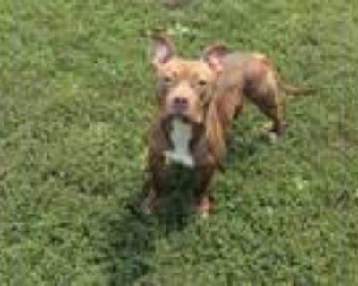 Adopt JOSIE a Red/Golden/Orange/Chestnut American Pit Bull Terrier / Mixed dog