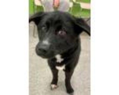 Adopt ZU ZU a Black Border Collie / Mixed dog in Louisville, KY (31872623)