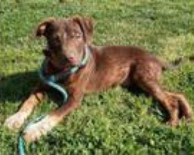 Adopt Fred a Doberman Pinscher, Mixed Breed