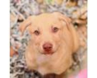 Adopt Howie a Shepherd, Mixed Breed