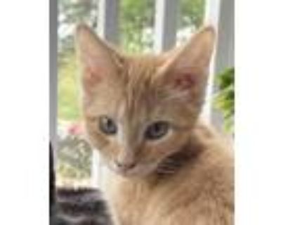 Adopt Tango a Orange or Red Domestic Shorthair / Mixed cat in Palatine