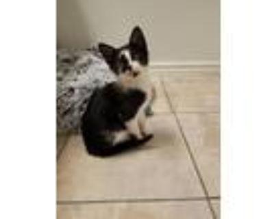 Adopt RABBIT a Black & White or Tuxedo Domestic Shorthair / Mixed (short coat)