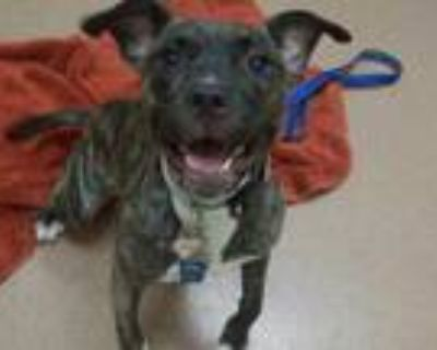 Adopt Bristol a Brown/Chocolate American Pit Bull Terrier / Mixed dog in