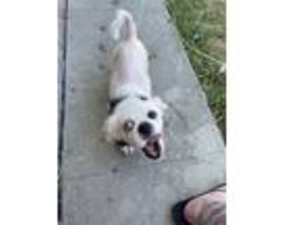 Adopt Charlie a White Pug / Mixed dog in Whittier, CA (31451695)