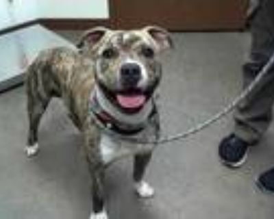 Adopt ALMOND ROCA a Brindle - with White American Pit Bull Terrier / Mixed dog