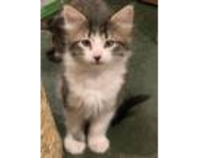 Adopt Squiggles a Domestic Shorthair / Mixed (short coat) cat in Park City
