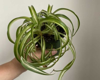Curly Sue snake plant