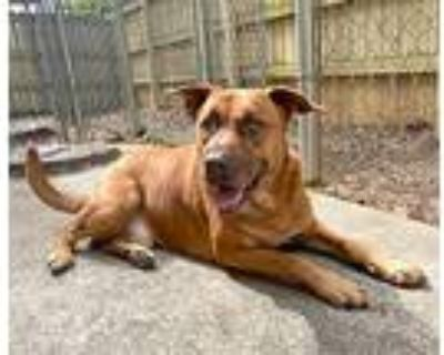 Mason (urgent Need), Retriever (unknown Type) For Adoption In Roswell, Georgia