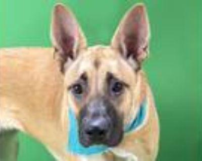 Adopt CARMELLA a Tan/Yellow/Fawn - with Black German Shepherd Dog / Mixed dog in