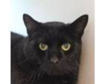 Adopt Handsome a Domestic Short Hair