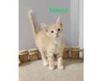 Adopt Mason a Domestic Short Hair