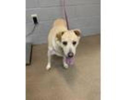 Adopt Sweet Potato* a Tan/Yellow/Fawn Labrador Retriever / Mixed dog in